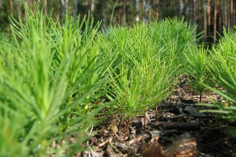 ООО КМДК «СОЮЗ-Центр» высадит 2 450 000 сеянцев деревьев в рамках лесовосстановительной кампании
