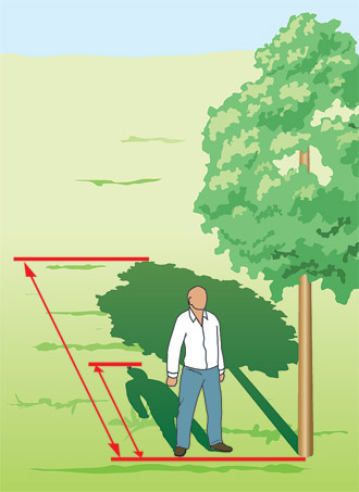 Как определить высоту дерева (как измерить высоту дерева)