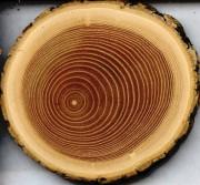 Луб дерева