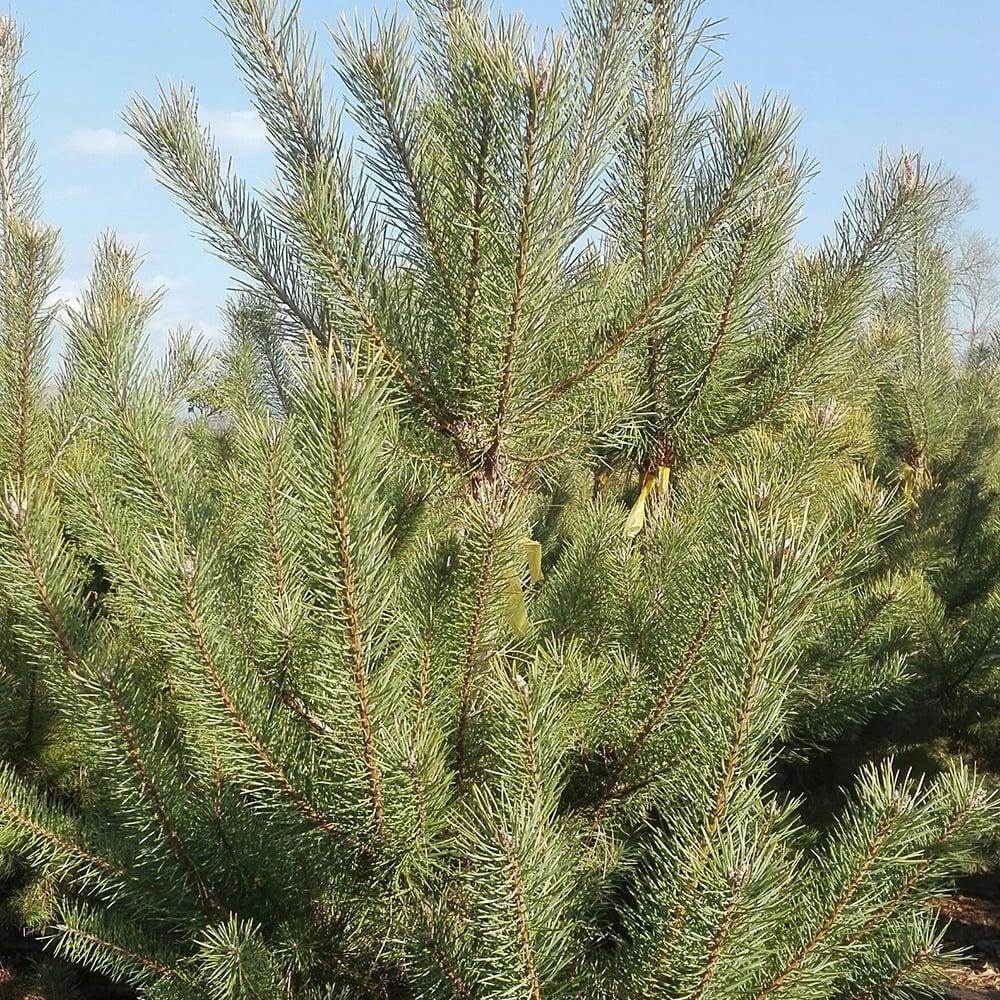На восстановление естественных березовых лесов потратят 145 миллионов долларов