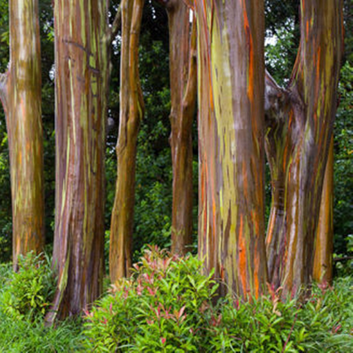 Австралийские плантации эвкалипта посадили заново