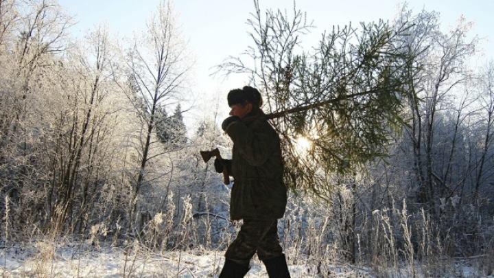 Два случая нелегальной заготовки новогодних елей обнаружили кузбасские лесничие вместе с полицией