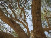 Уплотненная древесина компенсирует повреждения деревьев