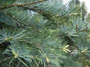 Федеральный центр исследования леса в Австрии провел исследование белой пихты