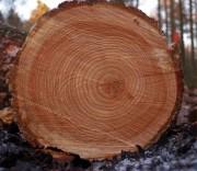 Северогерманская высококачественная древесина хвойных пород пользуется высоким спросом