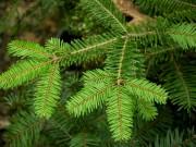 Ель названа деревом 2017 года в Саксонии