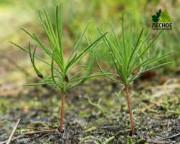 В Иркутском регионе высажено свыше 60 тысяч сосновых саженцев