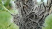 В лесах Красноярска, Томска и Иркутска ведется борьба с сибирским шелкопрядом
