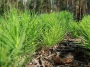 За этот год в Архангельском регионе высадили лесные культуры на 2000 гектаров