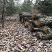Вырубка леса в Нэннап временно прекращена