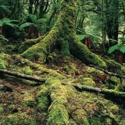 Тасманийское правительство предлагает открыть доступ к определенным породам деревьев