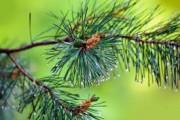 Кировская сосна – всероссийский памятник живой природы