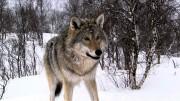 Минприроды России начнет масштабный мониторинг численности волка в России