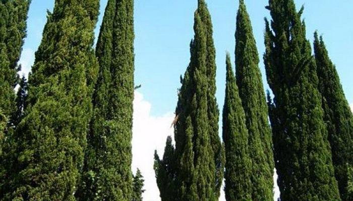 Какие деревья быстро растут