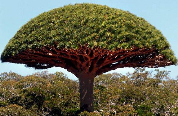Красное дерево, его виды и использование