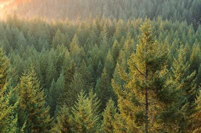 Какие деревья растут в тайге
